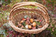 Top View Of Freshly Picked Wild Mushrooms Decorated With Sprigs Of Wild Heather In Wicker Basket. Boletus Edulis, Orange-cap Boletus - Gourmet Food, Autumn Harvest In The Forest. Hobbies.