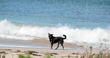 The Kelpie Is Enjoying Playing On The Beach