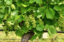 Vineyard With Bunch Of Small Green Wine Grapes
