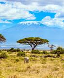Amboseli park, desert acacia
