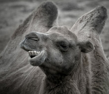 The Bactrian Camel, The Mongolian Camel Or Domestic Bactrian Camel Has 2 Humps To Store Nutrition To Sustain Survival In Hardy Conditions For Long Periods In Extreme Terrains.