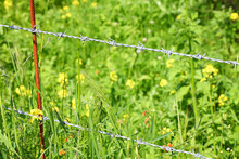 Barbwire Fence With Sharp Spikes Set To Make Obstruction In A Wild Nature. Gorgeous Wild Green Herbs And Flowers Grow Outside The Barbed Wire