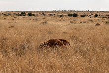 Landscape Shot Of Dark Brown Ant Hill In Karoo In Yellow Grass