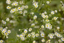 Daisy Fleabane, Erigeron Annuus Flowers Pattern
