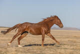 Fototapeta Natura - Wild Horse in the Utah Desert
