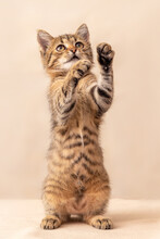 A Small Playful Striped Kitten Stands On Its Hind Legs
