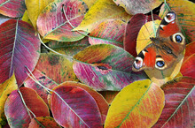 Colorful Autumn Fallen Cherry Leaves Texture Background. Bright Red Peacock Butterfly On Fallen Cherry Leaves