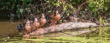 Mallard Ducks And Painted Turtles On A Log