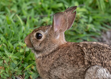 Close Up Of An Eastern Cottontail Rabbit