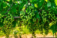 Grapes In Vineyard. Wine Grapes In Finger Lakes Wine Country, New York. Grapevines. Unripe Grapes