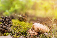 Group Of Mushrooms Boletus, Suillus Luteus, Grows Among Moss And Fallen Pinecones In Coniferous Forest, Mushroom Picking Season, Selective Focus, Close Up