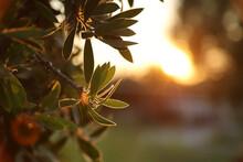 Autumn Leaves On The Tree In Golden Sunset Sun Light. Golden Hour Sun In The Garden. Evening Sunlight Illuminating Green Leaves On The Crimson Bottlebrush (Melaleuca Citrina) Tree.