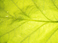 The Surface Of The Leaf Of The Tree. Floral Texture