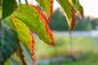 Piękny jesienny liść. Liście winogrono. Jesień.