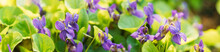 Beautiful Flowers Viola Odorata. Flowering Blooming Plant In Viola Family. Native To Europe And Asia. Summertime Background. Panorama, Panoramic View