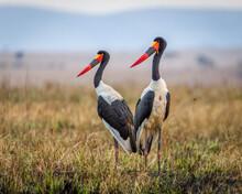Two Saddle Billed Storks In Masai Mara, Kenya