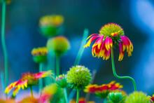 Gaillardia Is A Genus Of Flowering Plants In The Sunflower Family, Asteraceae, Gerbera Or Gaillardia Aristata Or Blanket Flower, Red Yellow Flower In Full Bloom, In A Public Park In India