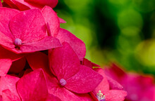 Floral Stock Photo, Close Up Of Pink Hydrangea With Green Bokeh Background, With Copy Space.