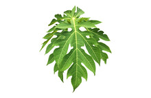 Isolated A Single Fresh Papaya Leaf With Clipping Paths.