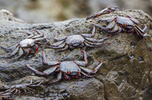 Sally Lightfoot Crabs (Grapsus Grapsus) On Rock At The Pacific Coast Of Northern Chile