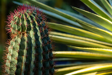 Shallow Focus Closeup Shot Of A Cactus With Pink Thorns