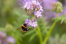 Les Pollinisateurs - Bourdon Terrestre Butinant Des Fleurs De Phacélie Dans Un Jardin En été