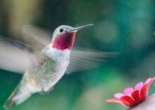Closeup Ruby Throated Hummingbird In Motion Hovering Near Garden Nectar Feeder Nominated