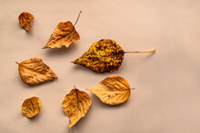 Flat Lay Composition Of Dried Golden Yellow Autumn Leaves On The Light Background