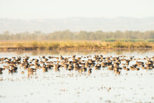 Migrating Canada Geese Rest On Lake In California