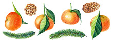 Watercolor Set Of Tangerines With Leaves,green Christmas Tree, Pine Cone.