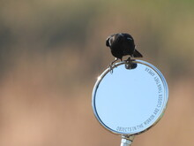 Bird On A Bike Mirror ... Bushchat