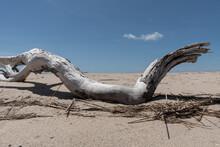 Closeup Of A Dry Tree On The Sand. Cape Cod, Massachusetts.