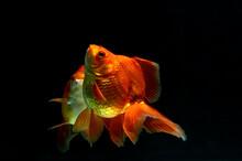 Two Goldfish Swimming In An Aquarium