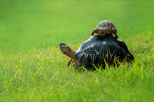Baby Tortoise On Top Of A Turtle In A Garden, Indonesia