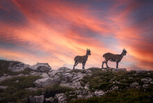 Two Goat Kids Standing In Mountains At Sunset, Switzerland