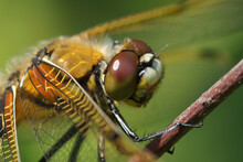 Facial Closeup Of A Four Spotted Chaser, Libellula Quadrimaculat