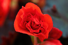 Closeup Background Of A Red Begonia Flower
