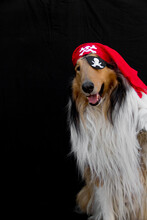 Portrait Of A Golden Collie Dog Dressed As A Pirate