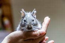 ネズミのような小動物、可愛いデグー