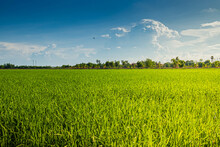 Agriculture Green Rice Field And Blue Sky Background .
