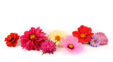 Border Of Mixed Garden Flowers Isolated On White Background. Colorful Blossom Of Dahlia Mignon, Aster, Cosmos, Zinnia Flowers.
