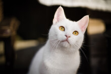 Portrait Of A White Cat Looking Up