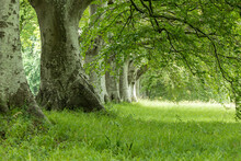 Beech Trees And Green Foilage At Kingston Lacey Dorest England