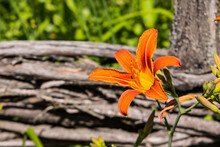 Beautiful Orange Lily In The Summer Garden