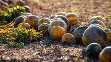 Kürbisse Zum Ernten Aufgereiht In Der Abendsonne - Herbstzeit, Halloween