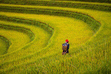 Red Dao People On The Rice Terrace