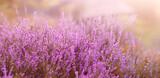 Fototapeta Kwiaty - Wrzosy Panorama