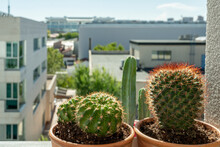 Barrel Cactus, Matucana Cacti And Cereus On The Terrace Of A Penthouse Overlooking The City. Decorative Indoor And Outdoor Plants