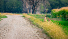 Fawn And Doe On Roadside