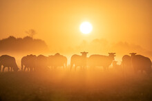 Sheep Herd Silhouettes At Sunrise